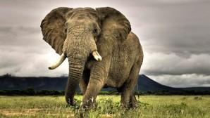 Fil Karşısına Çıkan Aracı Ezdi, Geçti