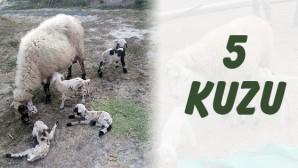 Koyun Beşiz Doğurdu