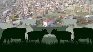 Kurucuova'da Büyük Baş Hayvan Hırsızlığı